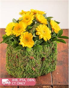 flowers: Moss Basket of Mini Yellow Gerberas!