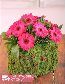 flowers: Moss Basket of Mini Pink Gerberas!