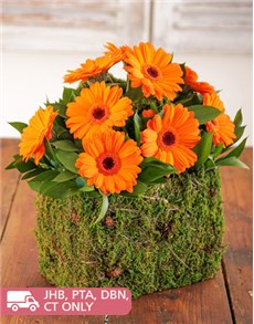 flowers: Mini Orange Gerberas in Moss Basket!