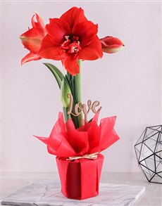 plants: Amaryllis Red Love Pot!