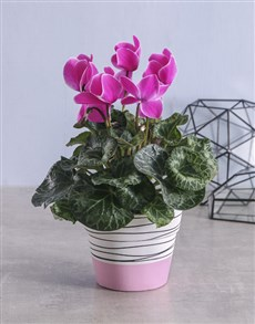 plants: Pink Cyclamen in Striped Ceramic Pot!