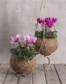 plants: Cyclamen in Kokedama !