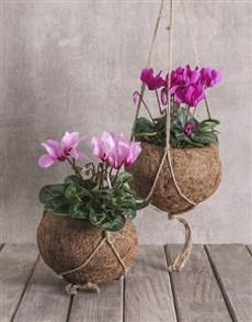 plants: Cyclamen in Kokedama !