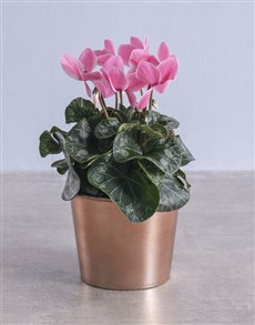 plants: Cyclamen in Rose Gold Container!