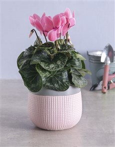 plants: Light Pink Cyclamen in Two Tone Pot!