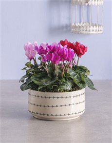 plants: Mixed Cyclamen in Heart Ceramic !