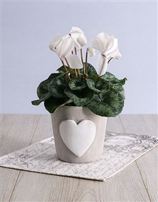 plants: White Cyclamen in Heart Ceramic Pot!