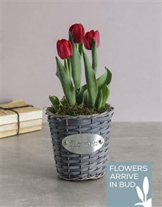 plants: Red Tulips in Flower Wicker Basket!