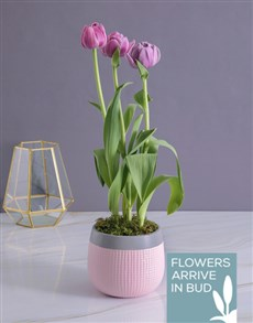 plants: Purple Tulip in Two Tone Pot!