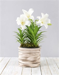 gifts: Casablanca Lily Plant in Pot!