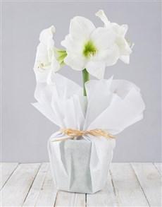 gifts: Wrapped White Amaryllis Plant!