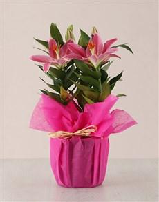 gifts: Valentines Cerise Stargazer Lily Plant!