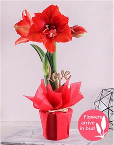 gifts: Red Amaryllis Love Plant!