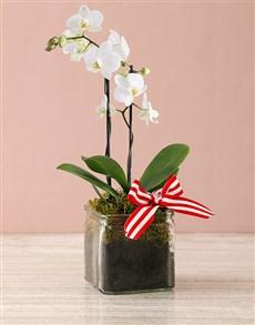 gifts: Midi Phalaenopsis Orchid Vase!