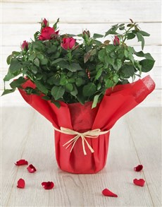 gifts: Red Romance Rose Bush!