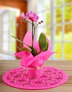 gifts: Midi Cerise Phalaenopsis Orchid!