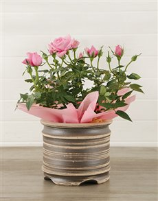 plants: 14cm Potted Rose Plant!