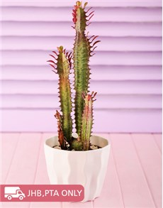 plants: Tall Cactus in a White Planter!