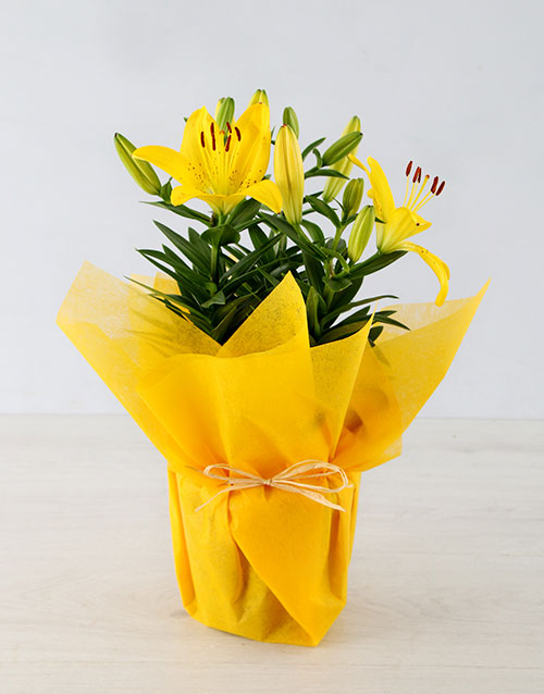 mothers-day: Yellow Lilies in Pot!