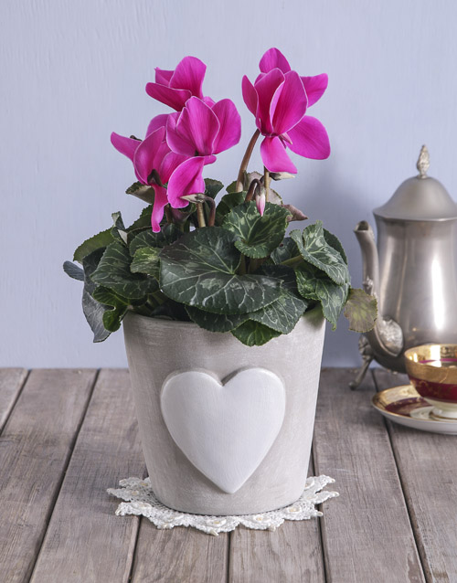 mothers-day: Blooming Heart Cyclamen Pot!
