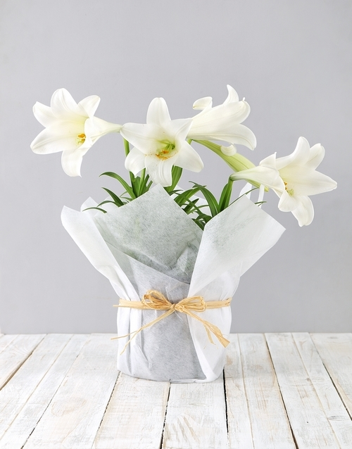 lily: St Joseph Lily Plant in White Paper!