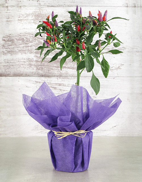 whats-new: Potted Red Chilli Plant!