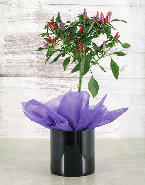 herbs: Red Chilli in Black Vase!