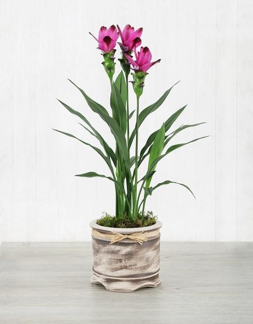whats-new: Purple Curcuma Plant in Pot!