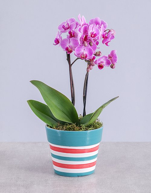whats-new: Midi Pink Orchid in Red Striped Vase!