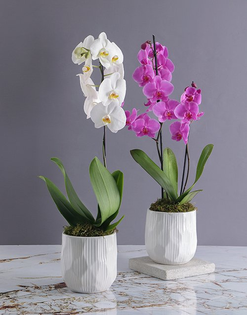 orchids: Two Stem Orchids in a White Pot!