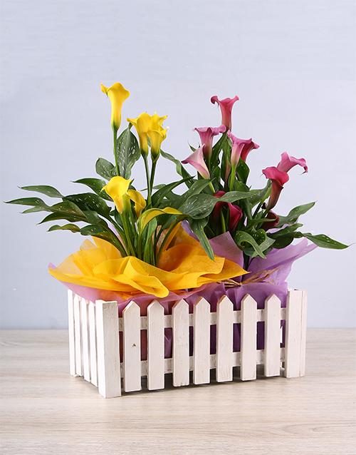 plants: Bright Colour Zantedeschia Picket Fence!