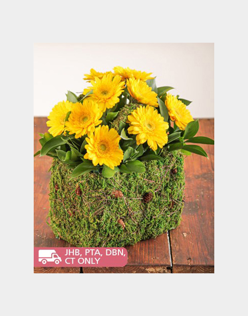 colour: Moss Basket of Mini Yellow Gerberas!