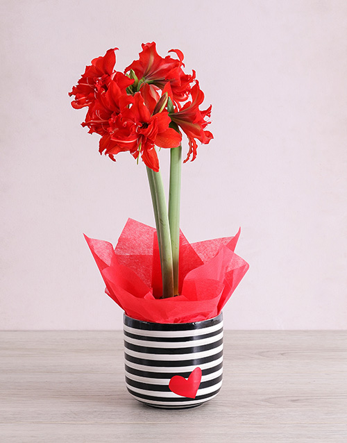 lily: Red Amaryllis Plant in Striped Heart Pot !