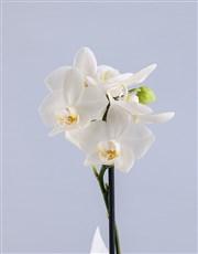 Yellow Midi Phalaenopsis Orchid