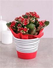 Kalanchoe Plant in Hand Drawn Black Stripe Pot