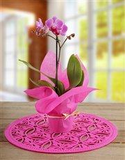Mini Phalaenopsis in Wrapping