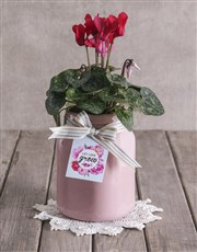 Red Cyclamen in Pink Container
