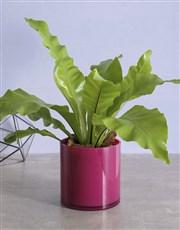 Asplenium Pink Pot Plant