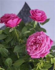Elegant Cerise Rose Bush Wrapped In Black