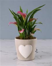 Zantedeschia in Embossed Heart Cement Pot