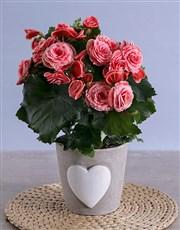 Pink Begonia in Heart Ceramic