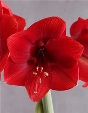 Red Amaryllis in Heart Pot