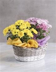 Lovely Chrysanthemum Blooms