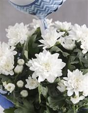Enchanting Chrysanthemum Blooms
