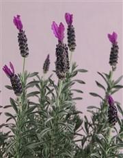 Motivation Lavender Pot