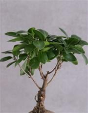 Ficus Bonsai with Love in a Rectangular Pot
