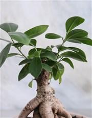 Ficus Bonsai in a Smooth Ceramic Pot