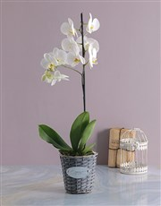 Orchid in Grey Flower Basket