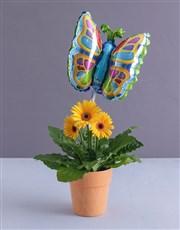 Butterfly Gerbera Plant