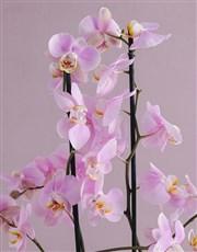 Hooray Orchid in a Hatbox
